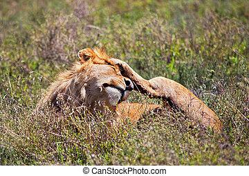 jonge volwassene, mannelijke leeuw, op, savanna., safari, in, serengeti, tanzania, afrika