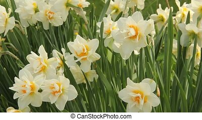 jonquil flowers in the wind