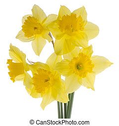 Jonquil flowers - Yellow jonquil flowers isolated on white ...