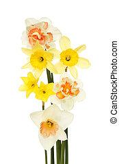 jonquille, arrangement fleur