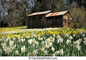 jonquille, californie, colline, cabine