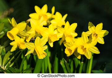 jonquille, fleurs, dans, fleur pleine