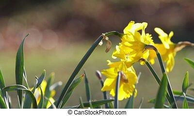 jonquilles, jaune