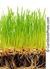 jord, hos, sæd, og, røder, i, frisk, grønnes græs