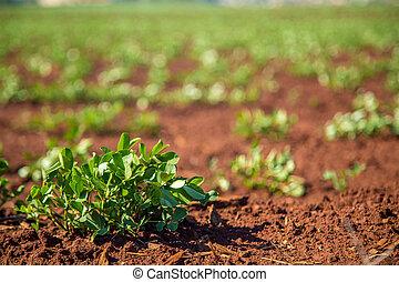 jordnöt, plantering