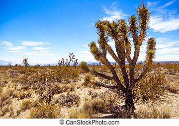joshua, norteamericano, árbol, desierto
