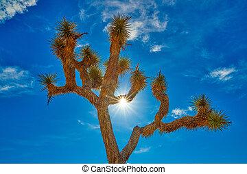 Joshua Tree Backlit by Sun - Joshua Tree backlit by sun with...