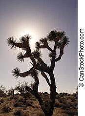 Joshua Tree in Sunset