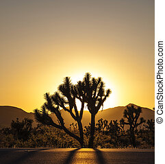 joshua tree in sunset - joshua trees with mountains in ...