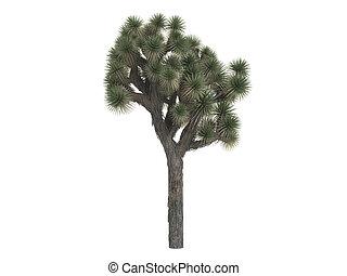 Joshua tree or Yucca brevifolia - Joshua tree or latin Yucca...
