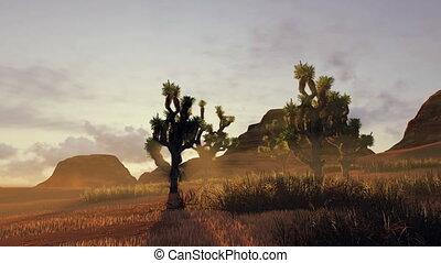 Joshua trees at sunset. Time lapse