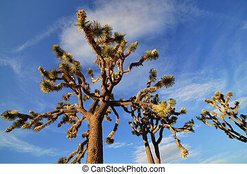 Joshua Trees in the Joshua Tree National Park, USA