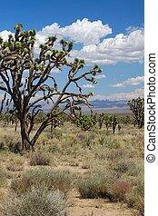 Joshua Trees in the Mojave Desert