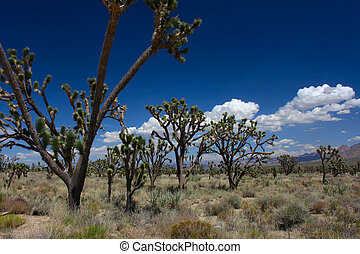 Joshua Trees in the Mojave Desert - Joshua trees at the...