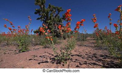 Joshua Trees Nevada - Joshua Trees and Wild Flowers near the...