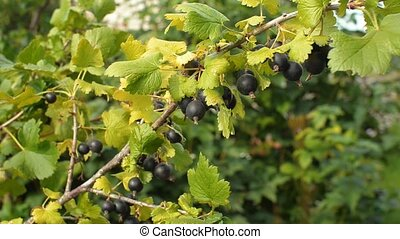 Jostaberry. Hybrid of a gooseberry and currant. Close up of...