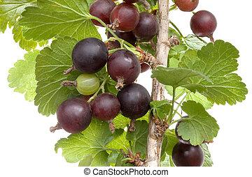 Jostaberry Plant Cutout - Black Velvet Gooseberry Plant ...