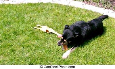 jouer, chien