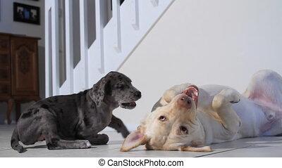 jouer, chiot, vieux chien, deux
