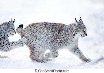 jouer, neige, deux, lynx