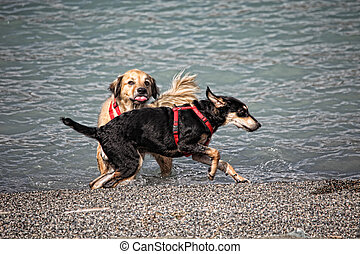 jouer, plage, deux, chiens
