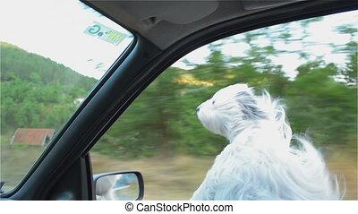 jouissance, vitesse, chien, conduite, amusement