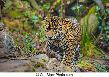 Playful young beautiful jaguars in the jungle