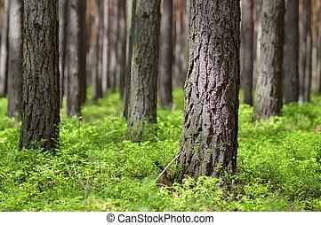 jour ensoleillé, forêt pin
