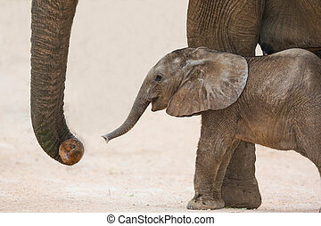 jour, vieux, éléphant africain, bébé, et, maman