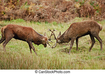 Jousting fighting red deer stags clashing antlers in Autumn Fall forest meadow