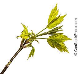 jovem, árvore, leaves., isolado, verde, ramo, branca, maple
