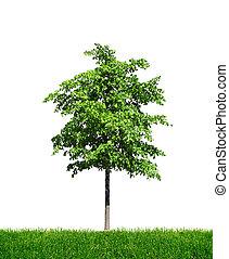 jovem, árvore verde