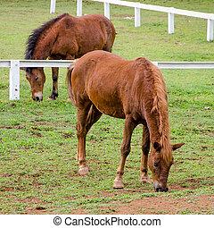 jovem, cavalo, comer, capim, em, fazenda
