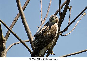 jovem, falcão vermelho-seguido, fazer, contato olho