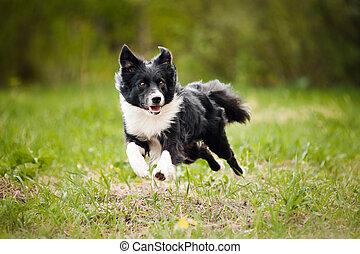 jovem, limite collie, cão
