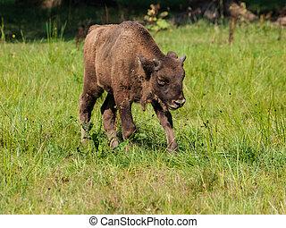 jovem, madeira, bisonte, floresta, primitivo, bialowieza, europeu