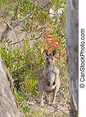 jovem, ocidental, cinzento, canguru, ficar, em, a, selvagem, floresta, em, naracoorte, austrália sul