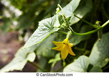 jovem, pepino, planta