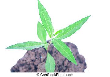jovem, planta verde, ligado, solo