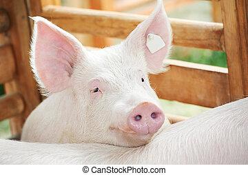 jovem, porca, em, galpão