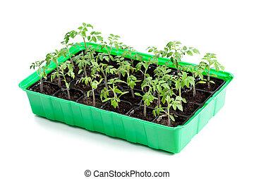 jovem, tomate, plantas, em, germinação, bandeja