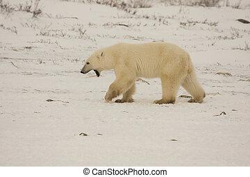 jovem, urso polar, com, boca aberta