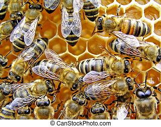 joven, bees.