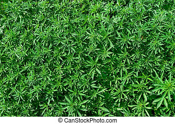 joven, cannabis