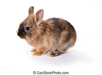 joven, conejo