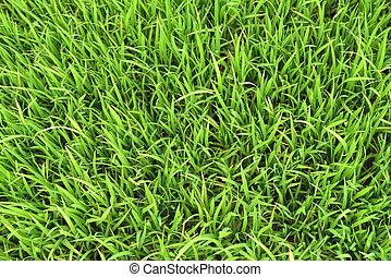 joven, el arroz crecer, en, el, campo del arroz
