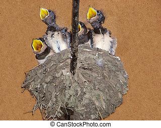 joven, golondrinas, en, el, nido