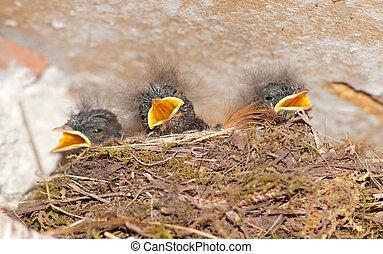 joven, golondrinas, en, nido