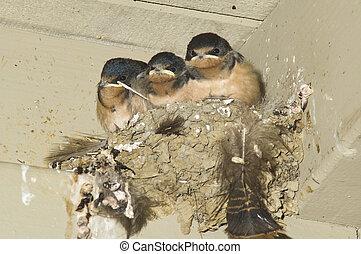 joven, granero, golondrinas, en, nido