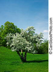 joven, pequeño, cerry, árbol, en, lleno, blanco, flor